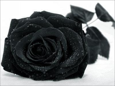 Roses noires